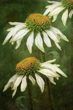 """It's a Colorful Life ~ — """"Echinacea"""" ~ Artist: Mandy Disher Arte Floral, Watercolor Flowers, Watercolor Paintings, Watercolors, Botanical Art, Belle Photo, Painting Inspiration, Painting & Drawing, Daisy Painting"""