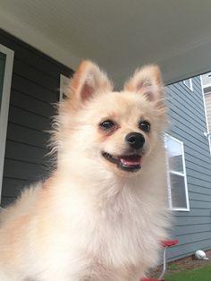 Cream Pomeranian- looks just like my zeus!