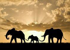 One of the many reasons why I love elephants! So beautiful!