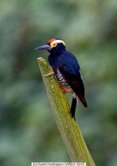 Pica-Pau-de-Tufo-Amarelo ou Pica-Pau-Benedito-de-Testa-Vermelha ou ainda Pica-Pau-de-Barriga-Vermelha ( Melanerpes cruentatus ) ( Fêmea ) - Brasil ( Amazonia ) e Bolivia,  Peru.