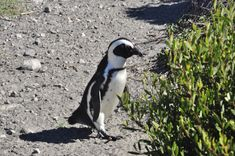 Penguin , Betty's Bay African Beauty, Penguins, South Africa, Animals, Animales, Animaux, Penguin, Animal, Animais