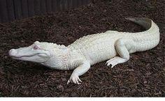 albino_animals_18