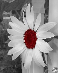 Black+&+White+Red+Sunflower+Wall+Art+Interior+Home+Decor+Matted+Picture