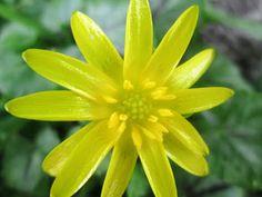 Raccontare un paese: dal mio orto: fiori spontanei, favagello