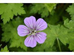 """Geranium """" Havana Blues """" ® - kakost Zahradnictví Krulichovi - zahradnictví, květinářství, trvalky, skalničky, bylinky a koření"""