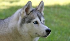 coyote husky dog mix pictures | Dog | Pinterest | Coyotes ...