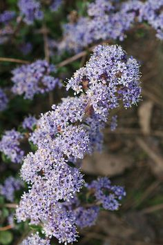 Ceanothus species. Ceanothus species is an evergreen Shrub growing to 2 m (6ft 7in).  It is hardy to zone 6. It is in flower from Aug to October. The flowers are hermaphrodite (have both male and female organs)It can fix Nitrogen.