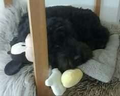 20170526 Moos & Mickey snoozing early on a sunny morning. Australian Labradoodle, Dogs, Doggies, Pet Dogs