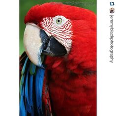 Gorgeous shot!!! ----- #Repost @jeremyblackphotography with @repostapp.  | Green-Winged Macaw | Birmingham Zoo | Photographed with the Canon EOS 70D on August 7 2015 | I threw myself into this art form because photography had given me a new sense of mission and identity."