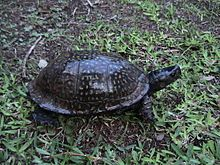Gulf Coast Box Turtle Terrapene carolina major 2.jpg