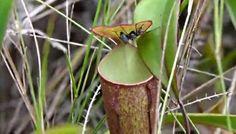 Растения-хищники используют для охоты дождевые капли | Head News