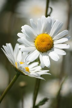 Daisy, Daisy, give me your answer do..... I'm half crazy all for the love of you.... Daisy Love, Daisy Daisy, Wild Flowers, Sunflowers And Daisies, Happy Flowers, Poppies, Daffodils, Beautiful Flowers, He Loves Me