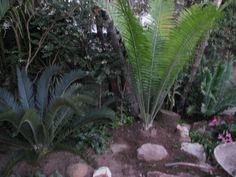 Encephalartos Kisambo: This is an African plant fron kenya and is valued at R90 a cm