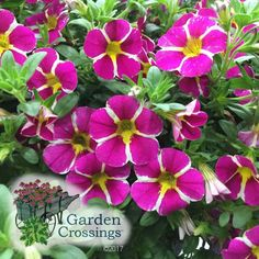 NEW for 2018!  A new member to the Calibrachoa family is SUPERBELLS® RISING STAR™ Calibrachoa.  Plant with other Calibrachoa or Petunias for fabulous color combinations.  What is your favorite Superbells®?  https://loom.ly/5LUbc-c