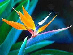 Oiseaux du paradis (fleur)