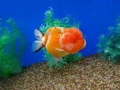 20 Types of Goldfish for Aquarium (Oranda, Shubunkin, Bubble Eye, Etc) Goldfish Tattoo, Goldfish Types, Fish Print, Aquarium Fish, Orange, Pets, Fish Tanks, Animals, Madness