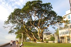 The HUNDRED YEAR OLD acacia trees along the Dumaguete  boulevard, Negros Island, Philippines.