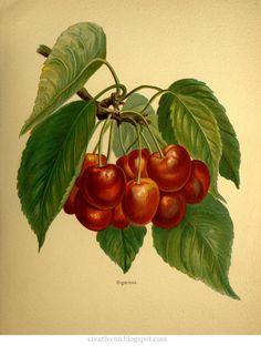 Старинные иллюстрации - 2. Ягоды и виноград.: ♥ Creative NN. Блог Альбины Рассеиной. ♥