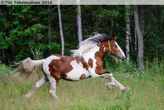 Finnhorse/Tinker gelding Herkko