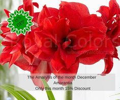 The Amaryllis of the month December is Amarantia Only this month 15% Discount  http://royalcolors.com/amaryllis/amarantia  #amaryllis
