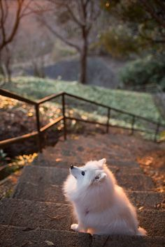 """wowtastic-nature: """" 💙 solitary evening on by Ichini Efu ☀ Canon EOS Mark """" Miniature American Eskimo, American Eskimo Dog, Cute Baby Dogs, Cute Dogs And Puppies, Animals And Pets, Funny Animals, Cute Animals, Samoyed Dogs, Pet Dogs"""