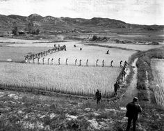 North Korean prisoners, taken by the Marines in a foothills fight, march single file across a rice paddy. 1950 (Marine Corps)