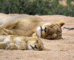 "Africa | ""Family siesta in riverbed. South Africa 