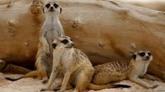 Meerkats take it easy on a rock at Al Ain Wildlife Park and Resort in the United Arab Emirates.
