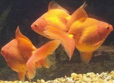 Fantail Goldfish Fantail Goldfish, Freshwater Fish, Koi, Fresh Water, Pets, Animals, Animales, Animaux, Animal