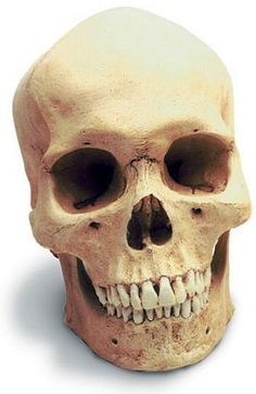 Human Male Skull with Stand | Museum Store Company gifts, jewelry and more