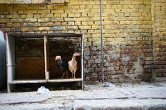 #Yellow: Free Range #Chicken in #Alexandria, #Egypt
