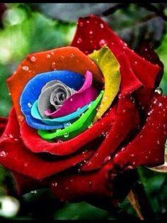 Rainbow rose