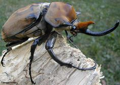 is a species of rhinoceros beetle found throughout Southern North America, Central America and South America. They get the name Elephant beetle not from their size. Rainforest Insects, Reptiles, Goliath Beetle, South American Rainforest, Rhino Beetle, Insect Orders, Cool Science Facts, Carapace, Bugs And Insects