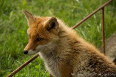 At a fox farm near Kitami Hokkaido