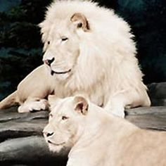 The White Lions are very rare animals found in South Africa. They are not albinos, but a inherited scarcity, unique to one common region on the glob. Their white color is a result of rare color mutation of the Kruger breed of lion.