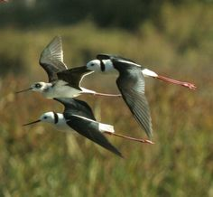 birds- Black-Necked Stilts: A striking black-and-white bird with very long, thin red legs, the Black-necked Stilt is found along the edges of shallow water in open country.
