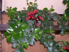 Eschynantus - Eszynantus - Eschynantus - Eszynantus » Rośliny doniczkowe