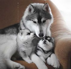 Siberian Husky Funny The many things I respect about the Athletic Siberian Huskies Pups - Monde Des Animaux Cute Little Animals, Cute Funny Animals, Cute Cats, Cutest Animals, Cute Husky, Husky Puppy, Beautiful Dogs, Animals Beautiful, Beautiful Family