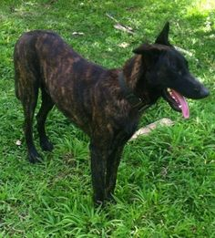 Tin-Tin the black brindle Dutch Shepherd is standing in a yard. There are tree branches next to him. His mouth is open and tongue is out