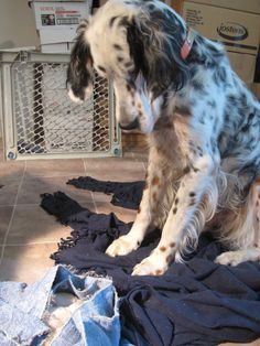 Small Puppies, Small Dogs, Cute Puppies, Cute Dogs, Dogs And Puppies, English Setter Puppies, Irish English, English Springer Spaniel, Irish Setter