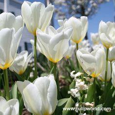 Image White Tulip Purissima 100 bulbs