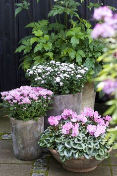 Coordinated plantings in pots of varying heights and shapes perfect colour for Autumn