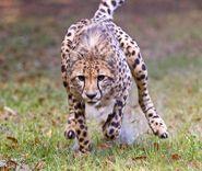 Cheetah Run at Busch Gardens Tampa.
