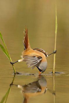 Prachtig hoe een baardmannetje kan balanceren tussen twee rietstengels.