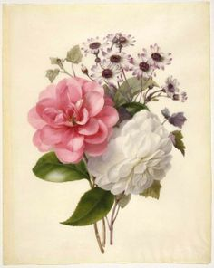 A spray of three flowers Camellias and ?Cincinaria  Maker:  Anne, Marie; draughtsman; British artist, op.1840-1851    Category:  drawing  Name:  drawing    School/Style:  British