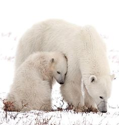 Polar Bear and Cub by mz_images - Michel Zoghzoghi