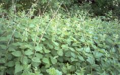 Nettle is rich source of iodine