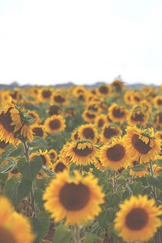 Image via We Heart It https://weheartit.com/entry/150952367 #background #flower #flowers #sunflower #sunflowers #tumblr #walpaper #tumblrbackgrounds