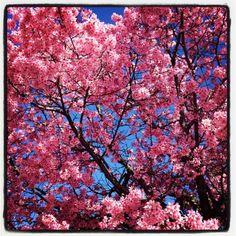 Les Pommiers du Japon sont en fleurs. - Le blog de La Peste