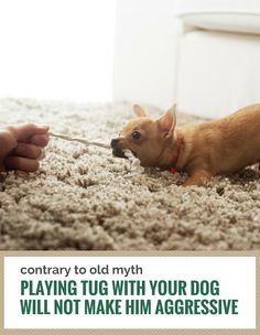 Playing tug with your dog does not cause aggression.